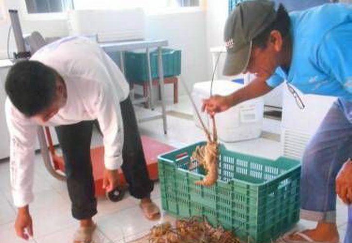 La langosta entra en veda este sábado en la península de Yucatán. (SIPSE)