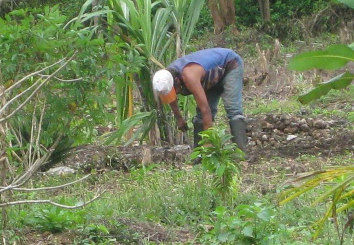Los productores de maíz comenzaron a realizar la siembra en sus parcelas con las primeras lluvias. (Javier Ortiz/SIPSE)