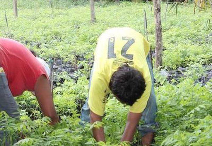 El gobierno federal invertirá este año un monto de cinco millones 600 mil pesos para la reforestación del estado. (Edgardo Rodríguez/SIPSE)