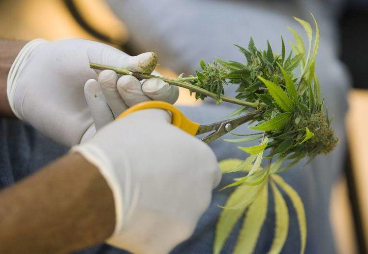 La marihuana contiene niveles normales de CBD, que conforma en torno al 40 % de la planta, no es psicoactivo y se usa a menudo para tratar episodios de convulsiones en personas. (Archivo/EFE)