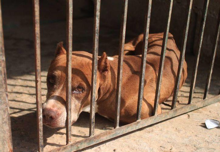 Los intendentes tenían la intención de capturar a los canes para después trasladarlos a la perrera municipal. (Harold Alcocer/SIPSE)