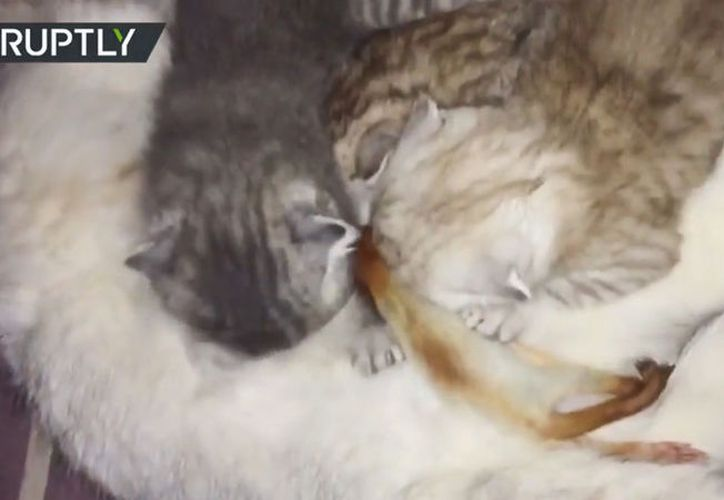 Una gata adopta a la cría de una ardilla como suya. (Ruptly)