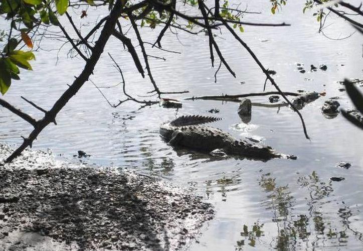 En Cancún los cocodrilos se acercan a los restaurantes apostados cerca de la laguna. (Redacción/SIPSE)