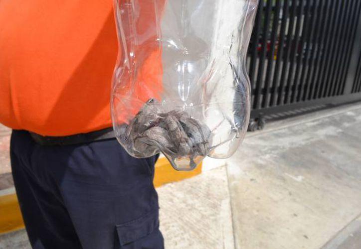 Una mujer fue atacada por una boa mientras se encontraba en horarios de trabajo en Chetumal. (Redacción/SIPSE)