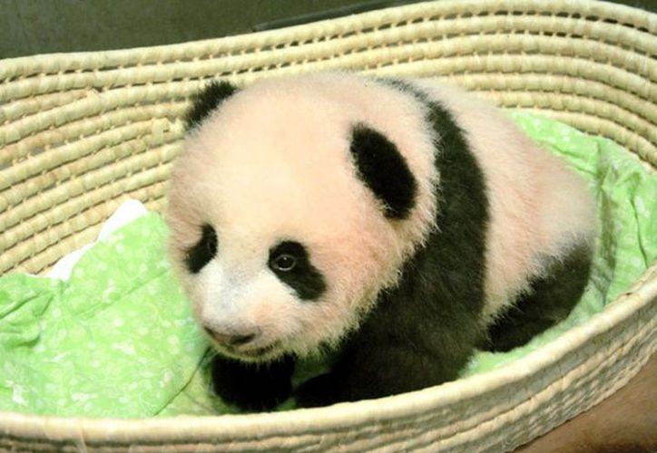 Xiang Xiang nació el 12 de junio y es hija de la osa panda del zoo, Shin Shin. (Excelsior)