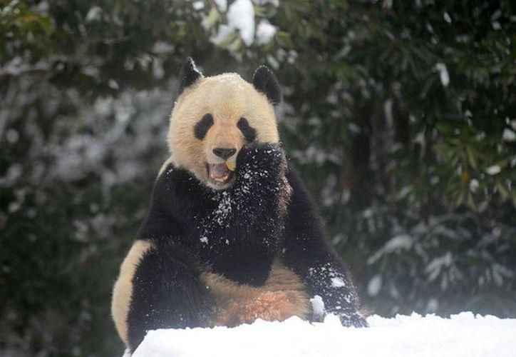 Osos panda se divierten en la nieve. (Getty Images)