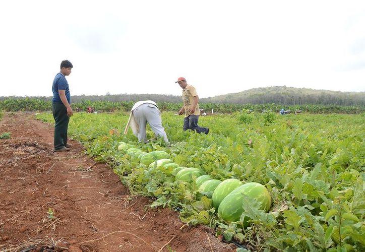 Buscan mejorar el rendimiento en cultivos como el maíz, la piña, la sandía, coco y demás productos de la región.