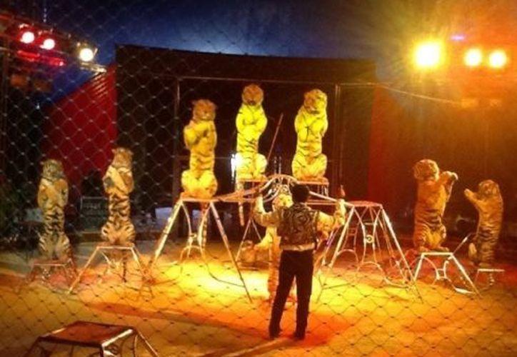 Tigres de bengala del Circo Atayde, una de las nuevas atracciones del la Feria Yucatán 2012. (@coral_DN)