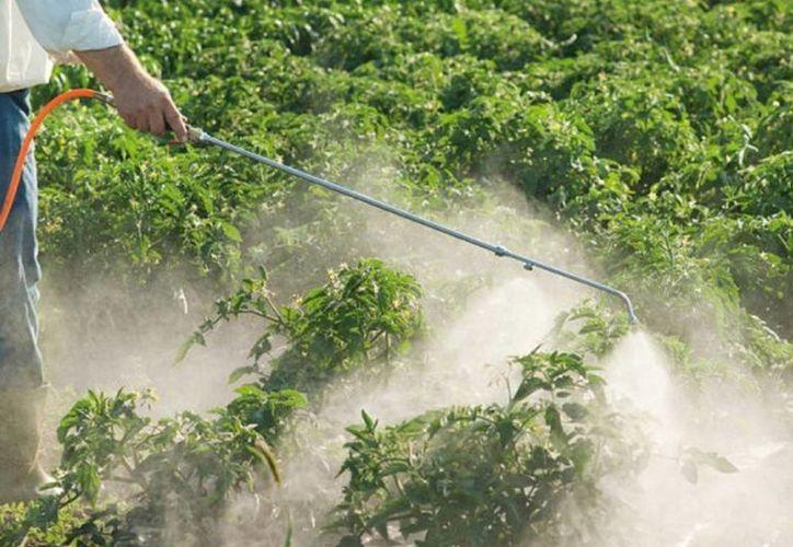 Productores de maíz utilizan, al menos, 300 toneladas de fertilizantes y dos mil 400 litros de agroquímicos. (Javier Ortiz/SIPSE)