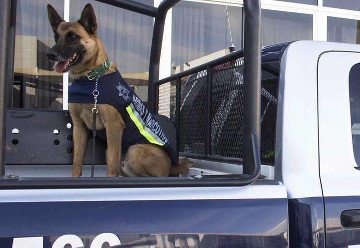 Un binomio canino localizó en una empresa de paquetería en Mérida una caja con 52.300 kilos de marihuana. Imagen de un perro especializado en la detección de narcóticos. (Archivo/Notimex)