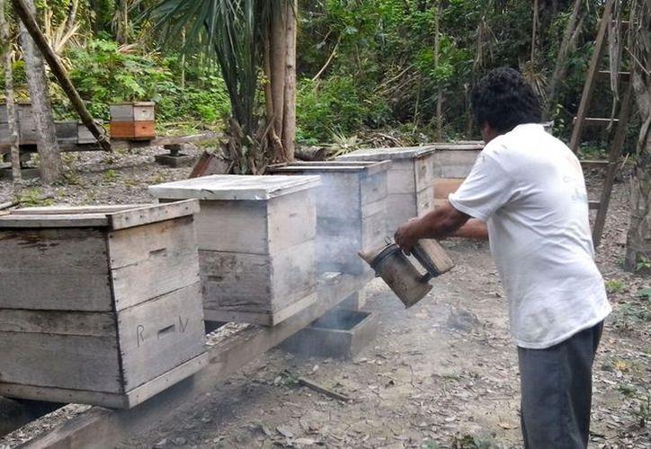 Los apicultores de la comunidad de Nuevo Jerusalén atacan al escarabajo con recursos propios pero nada efectivos. (Javier Ortiz/SIPSE)