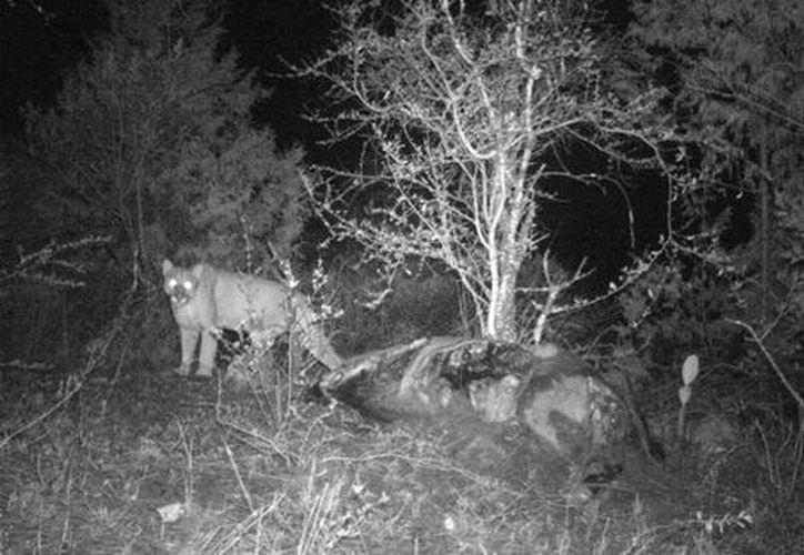 A pesar de que el comportamiento del puma no representa un riesgo para la población, recomendó a los habitantes evitar el pastoreo en  las zonas de peligro. (Milenio)