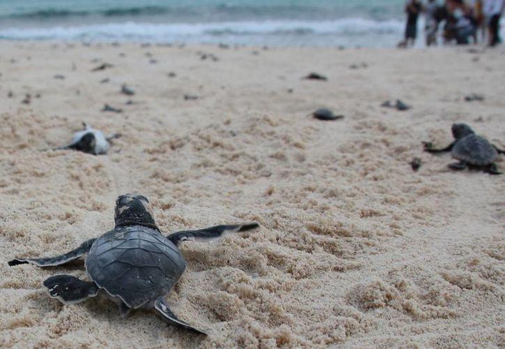 La tortuga caguama se suma a la lista de animales en peligro de extinción bajo la NOM-059 de la Semarnat. (Redacción/SIPSE)