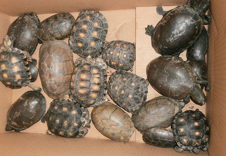 Entre los animales asegurados se encuentran 19 tortugas del desierto o galápagos de Tamaulipas. (Notimex)