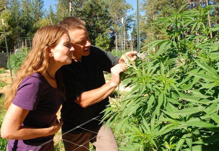 Imagen de una pareja de productores de marihuana en Oregon, mientras examinan una de sus plantas para uso medicinal. Buscan en Chile despenalizar el cultivo del cannabis para consumo privado y su cultivo y venta con fines terapéuticos. (Foto AP/Jeff Barnard, Archivo)