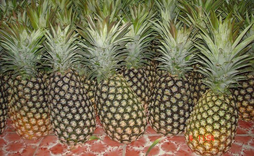 La primera venta de piña deberá concretarse entre noviembre y diciembre de este año. (Gerardo Amaro/SIPSE)