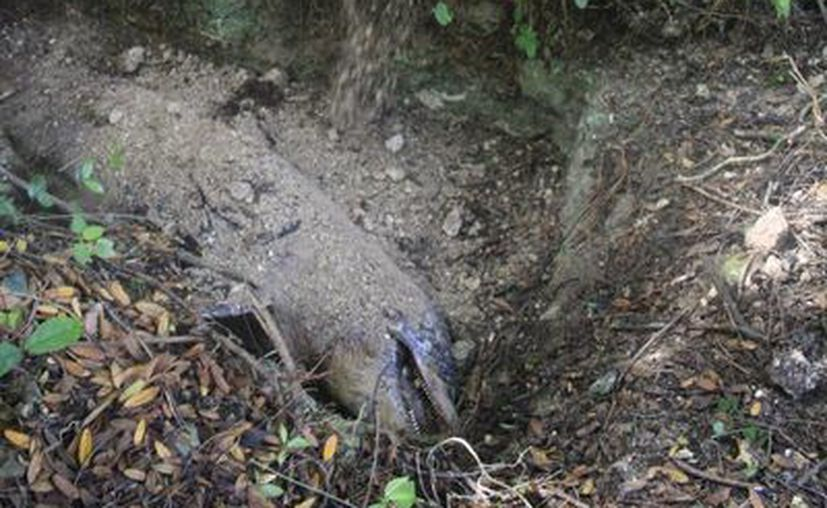 Las osamentas de los animales que recalan muertos al Santuario del Manatí, son estudiadas y expuestas en un museo. (Gerardo Amaro/SIPSE)