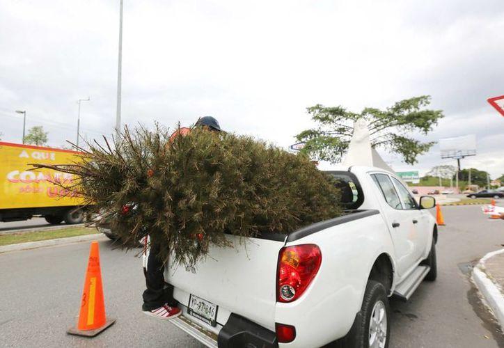 Cada vez más meridanos recurren a los centros de acopio de pinos navideños. (SIPSE)