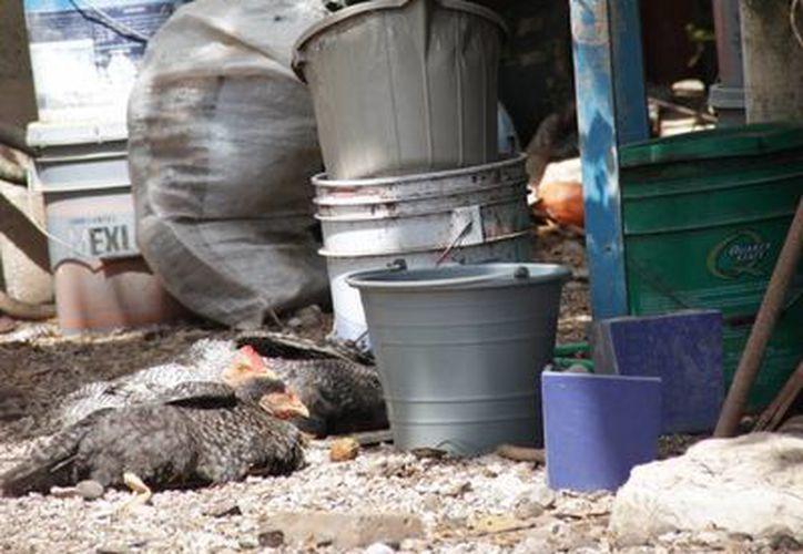 La limpieza en los patios de los hogares evita criaderos de moscos. (Consuelo Javier/SIPSE)