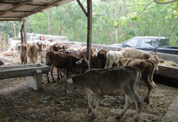 El ganado del estado tendrá que enviarse vía Tamaulipas, para que la carne tenga certificado de rastro tipo TIF. (Archivo/SIPSE)