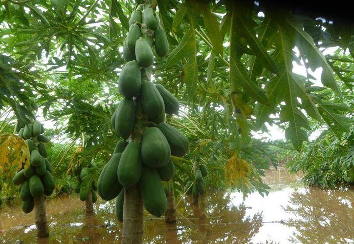 Lázaro Cárdenas, en donde se inundaron plantaciones de papaya, es uno de los seis municipios declarados en emergencia por las lluvias.  (Raúl Balam/SIPSE)