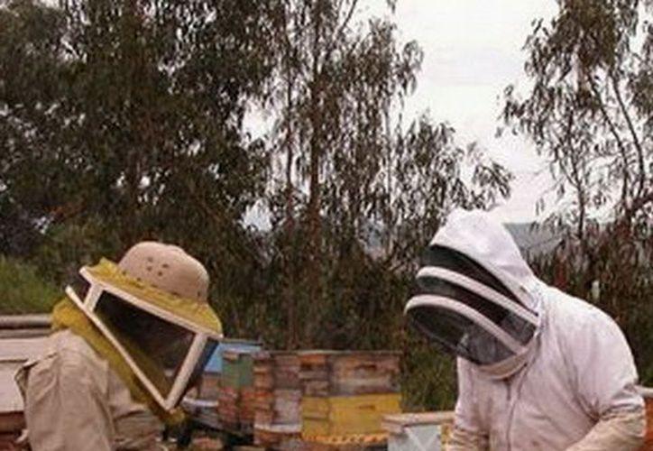 Buscan inversión atreves de la Sedari y el co-ejercicio de la Sagarpa para mejorar producción y calidad de la miel en el 2013. (Cortesía/SIPSE)