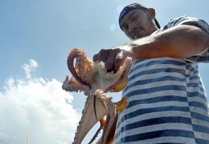 ´Más de mil 500 pequeñas embarcaciones fueron autorizadas para la captura del pulpo en Campeche durante esta temporada. (Archivo/Notimex)