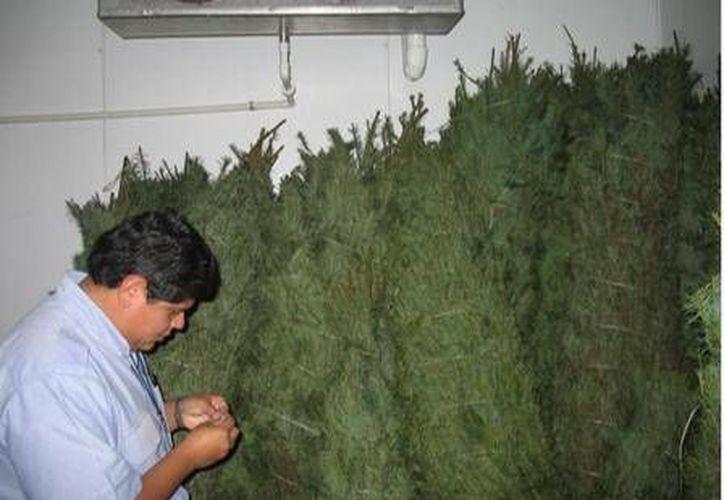 Hasta el momento la Profepa ha verificado el ingreso de más de 320 mil árboles de Navidad naturales. (Profepa)