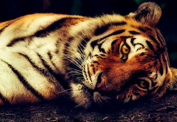 Se cree que el juguete de tigre fue colocado en el establo por unos bromistas. (Pixabay)