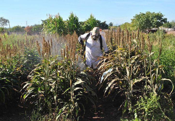 Los productores esperan una buena cosecha, pues las lluvias han dejado suficiente humedad en los terrenos. (Carlos Castillo/SIPSE)