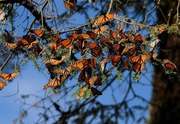 Los estados de Michoacán y México albergan el santuario de la mariposa Monarca en el país, que espera su llegada en poco más de un mes. (Archivo/Notimex)