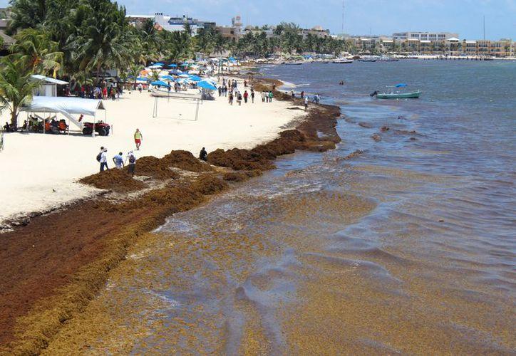 El arribo masivo de sargazo afecta desde hace varios años a los arenales de todo el destino. (Adrián Barreto/SIPSE)