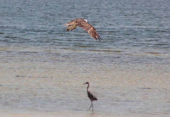 El séptimo Festival de Aves Cozumel se realizará del 23 al 25 de octubre. (Gustavo Villegas/SIPSE)