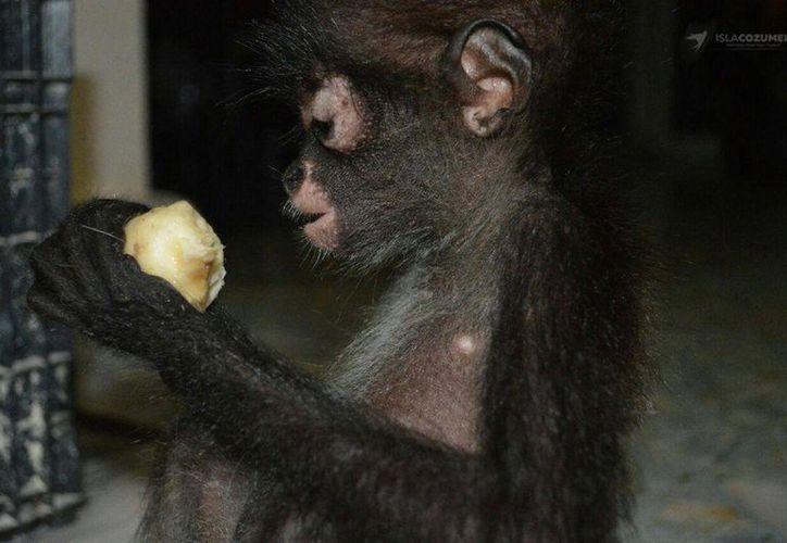 En Cozumel, los mono araña se consideran como fauna exótica, ya que no se encuentran de forma natural dentro selvas. (Foto: Redacción)