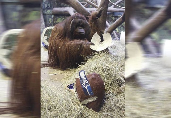 El año pasado Eli golpeó el casco con el logo de los Seahawks y el equipo de Seattle venció a los Broncos de Denver. (AP)
