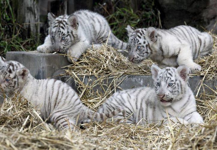 Los tigres nacieron hace cerca de dos meses por parto natural. (Agencias)