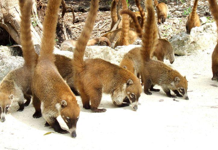En el hotel Iberostar habitan coatíes, los cuales son alimentados por los huéspedes. (Foto: Internet)
