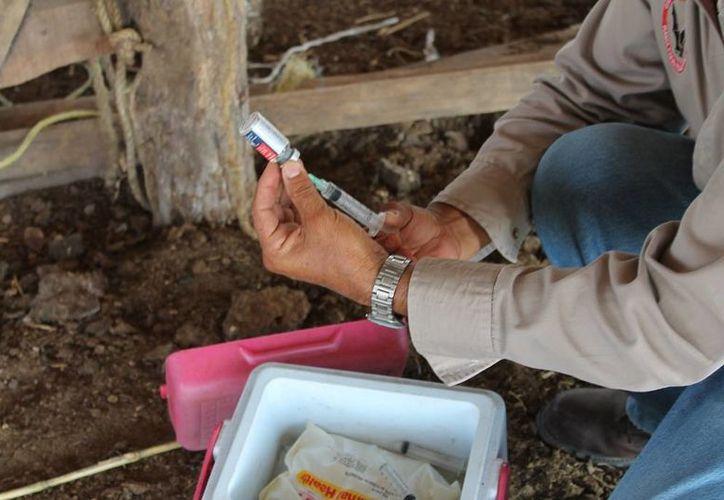 Las autoridades sanitarias realizan recorridos frecuentes para evitar brote de virus en el ganado. (Edgardo Rodríguez/SIPSE)