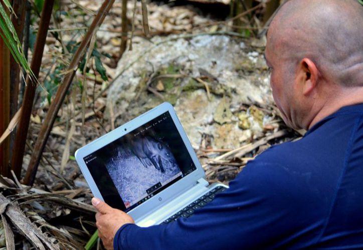 Durante dos meses y con cámaras de fototrampeo que se instalaron en ocho estaciones del Ejido Bacalar, obtuvieron 209 fotografías de 46 ejemplares diferentes. (Javier Ortiz/SIPSE)