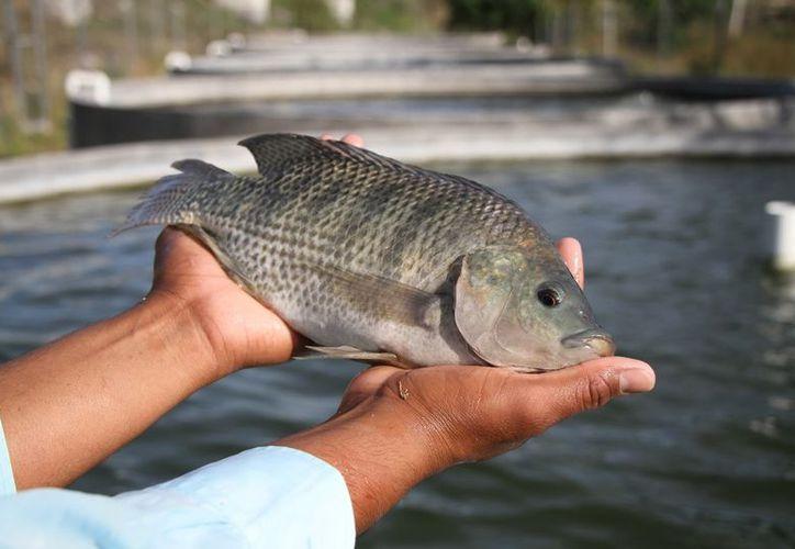 En los criaderos cumplen con las normas exigidas en niveles de oxígeno y el Ph del agua de los estanques. (Daniel Tejada/SIPSE)