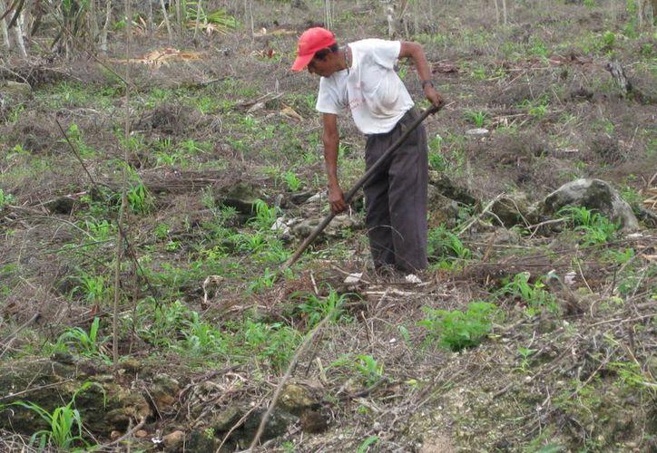 La severa sequía que se presentó en el municipio bacalarense en meses pasados ocasionó la pérdida de las cosechas. (Javier Ortiz/SIPSE)