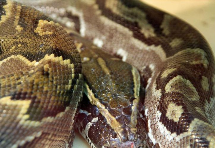 La serpiente fue capturada y está bajo custodia de la policía. (espanol.torange.biz)