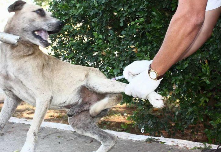 La SSY ya aplicó más de dos mil 50 dosis a igual número de animales en Yucatán. En la imagen, un perro es vacunado contra la rabia. (Milenio Novedades)