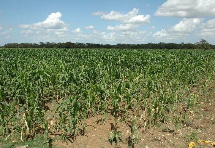Quintana Roo sembró una superficie de mil 601 hectáreas destinadas al frijol, de las cuales solo se cosecharon 160 con un rendimiento de 90 toneladas. (Edgardo Rodríguez/SIPSE)