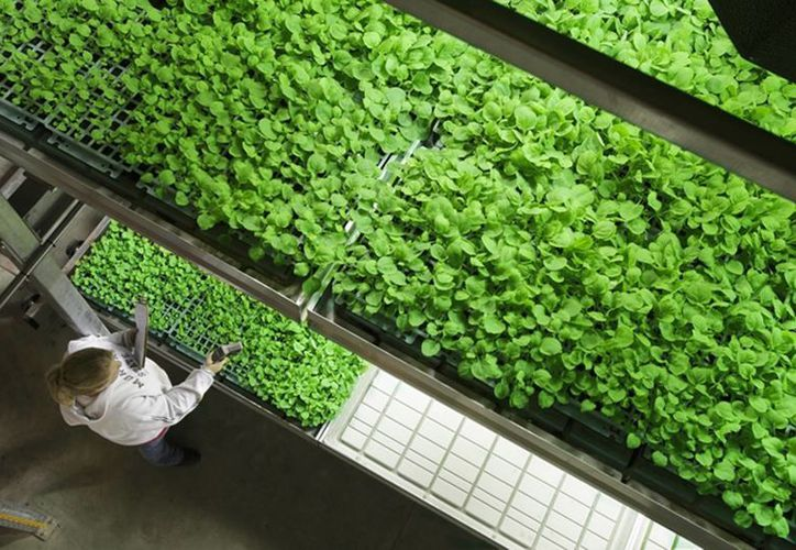 Foto sin fecha suministrada por Kentucky BioProcessing de una plantación de tabaco en una instalación de Owensboro, Kentucky. La compañía usa esas plantas para elaborar un fármaco experimental para el ébola. (Agencias)