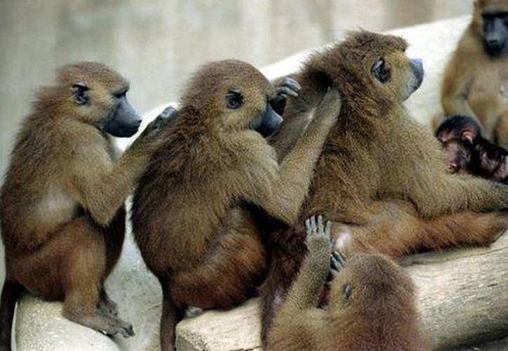 La policía francesa informó que la mayoría de los monos ya están enjaulados, pero sólo quedan algunos babuinos libres. (Foto: Contexto/Internet)