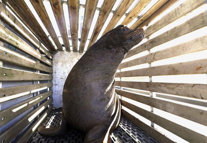 Los funcionarios habían matado a tres de los animales valiéndose de las trampas que utilizaron el año pasado para reubicarlos. (AP)