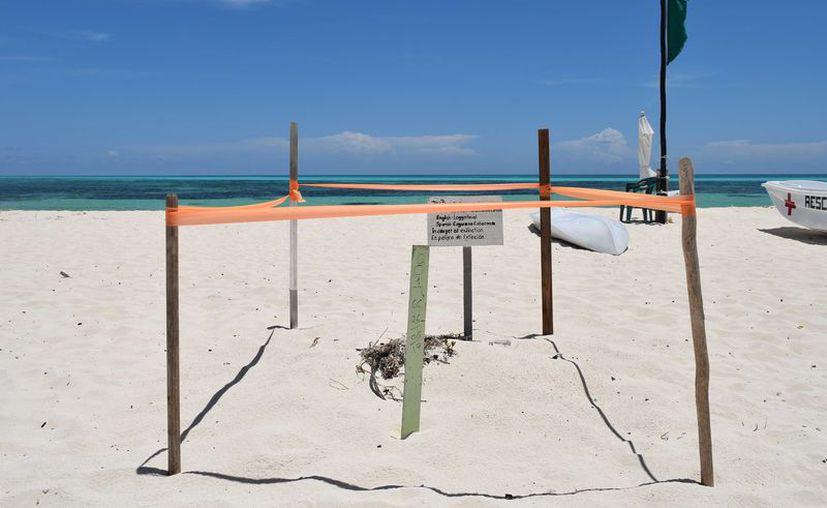Es obligación de la empresa presentar un registro del nido de tortugas. (Gustavo Villegas/ SIPSE)