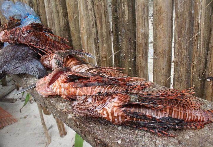 Los pescadores de Tulum capturan pez león para proteger la producción de langosta. (Sara Cauich/SIPSE)