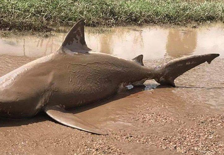 Los tiburones toro son comunes en la región de Burdekin y son conocidos por su habilidad de comerse a otros tiburones y delfines. (RT)